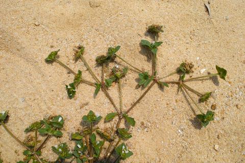 chickweed-stellaria-media.jpg